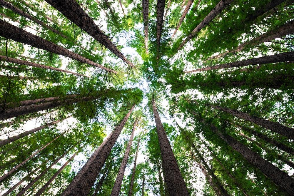 redwood trenst